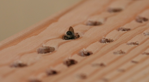 leaf cutter bee entering her nest