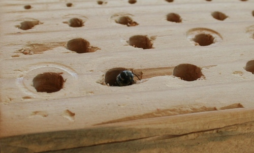 Leaf cutter bee inside bee condo